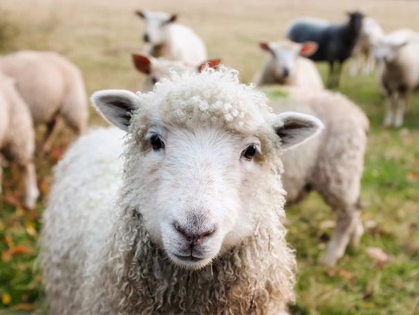 Изучение английского языка в Ирландии Изучение английского языка в Ирландии ireland sheep